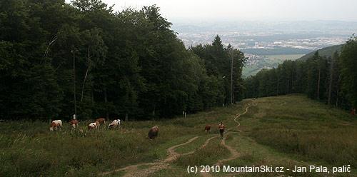 Výše se na sjezdovkách pasou krávy