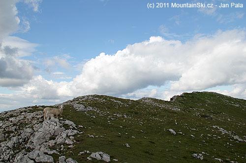 Ovce na hřebenu Raduhy, hlavní vrchol je vpravo
