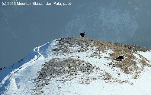 Chamois on the side ridge of RaxAlpe