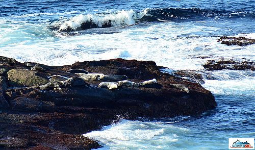 Kolonie tuleňů