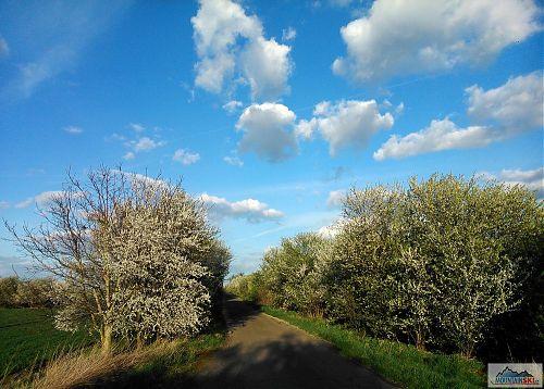 Alej mezi Větrušicemi a Drasty kvete naplno