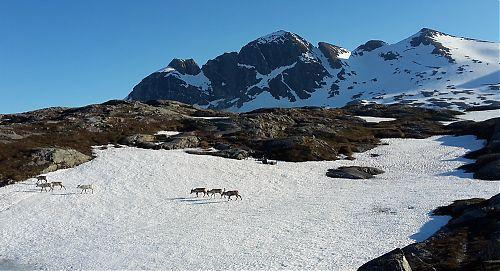 Stádo sobů na Vardfjellet